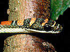 Twin Barred Tree Snake Snakes of Southeast As...